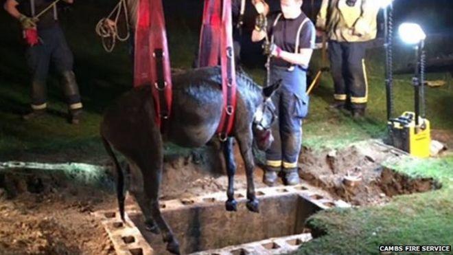 Donkey rescue in Cambridgeshire