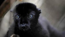A blue-eyed black lemur in close-up shot