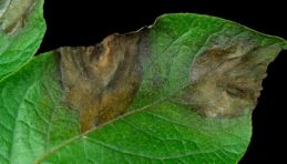 Image result for Hutton potato blight disease