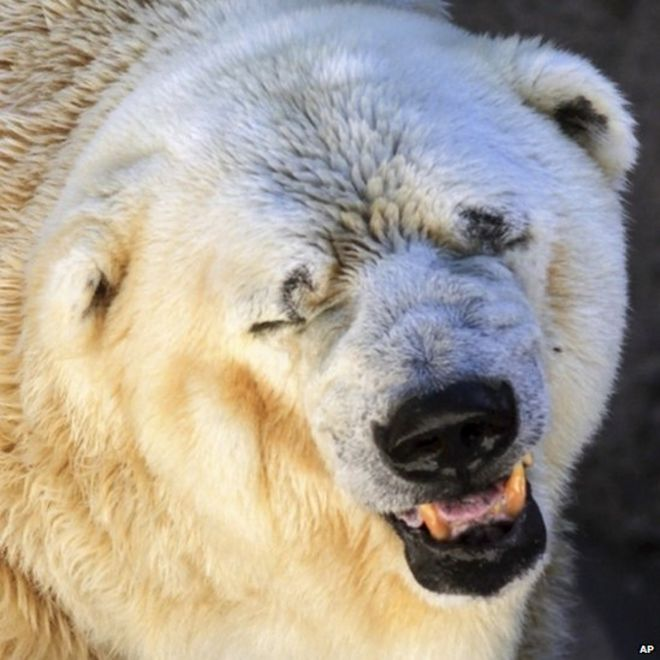 Image of: Conservation Polar Bear In Argentina Zoo Said To Be Depressed Bbccom Depressed Argentina Polar Bear Arturo Dies At 30 Bbc News
