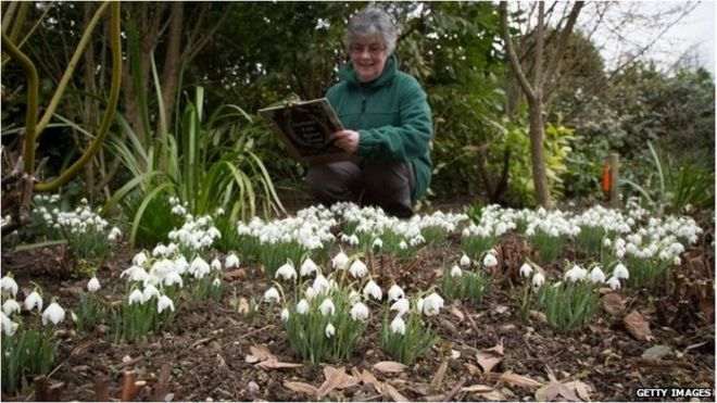 A woman with a clipboard counting snowdrops