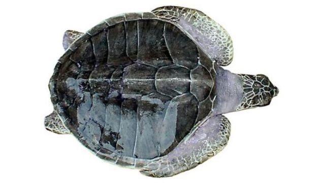 බටු කැස්බෑවා - Olive Ridely turtle (Lepidochelysolivacea)