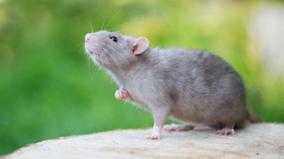 Una rata.