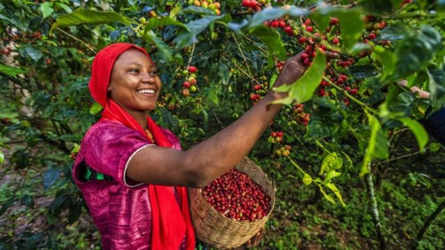 L'arabica est originaire des hautes terres d'Éthiopie.