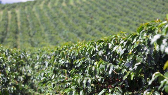 Une plantation de caféier en Colombie