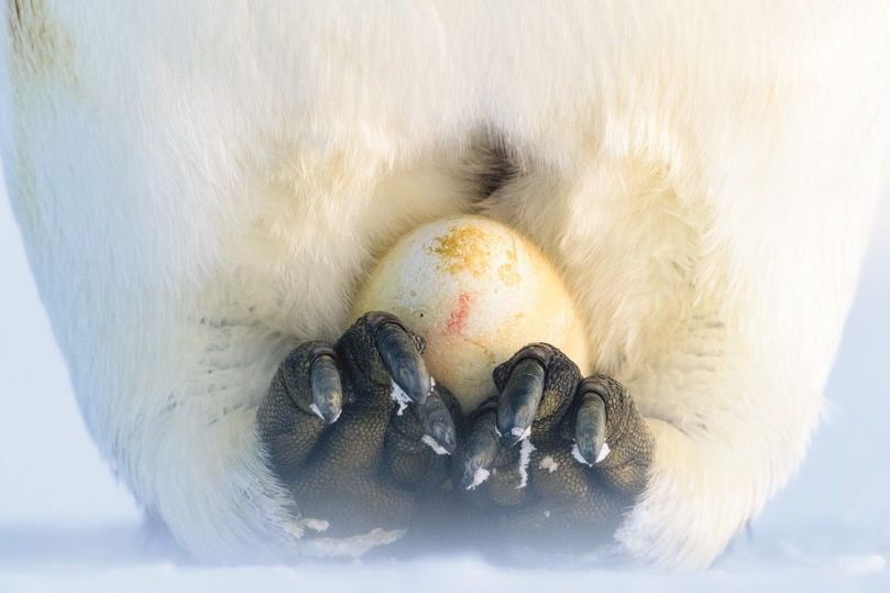 A penguin incubates an egg on top of its feet