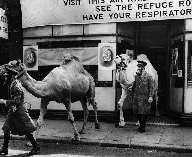 Camels getting fitted with gas masks