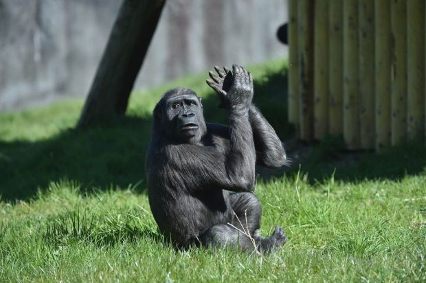 A gorilla claps its hands in Belfast Zoo