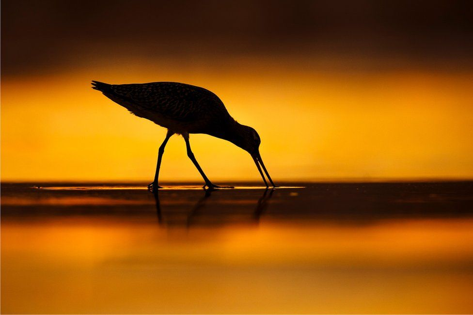 A bar-tailed Godwit feeds on the sand on a beach with a sunset behind it