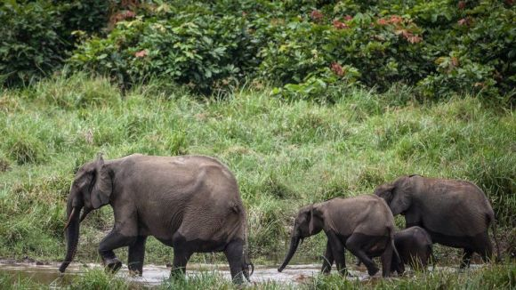 Forest elephants are seen at Langoue Bai in the Ivindo national park, on April 26, 2019