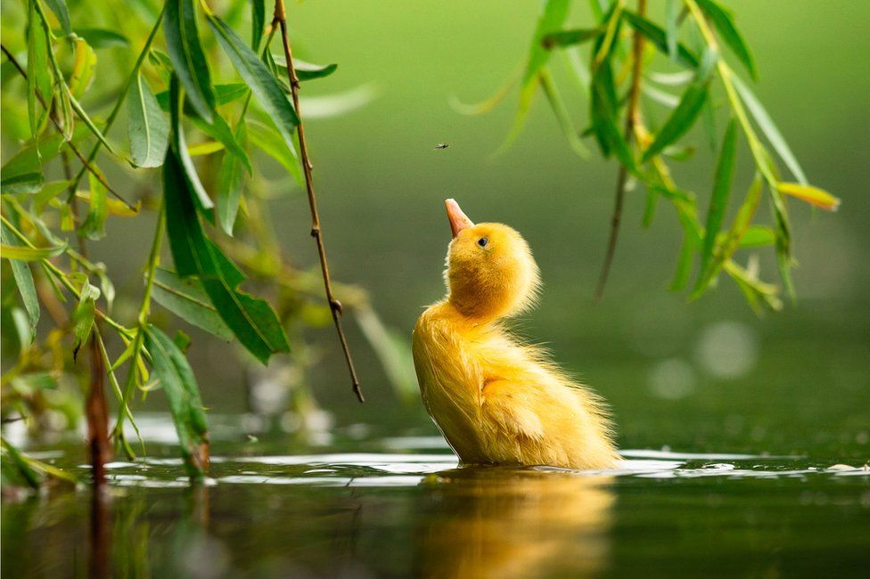 A duckling looks up at a fly above its head