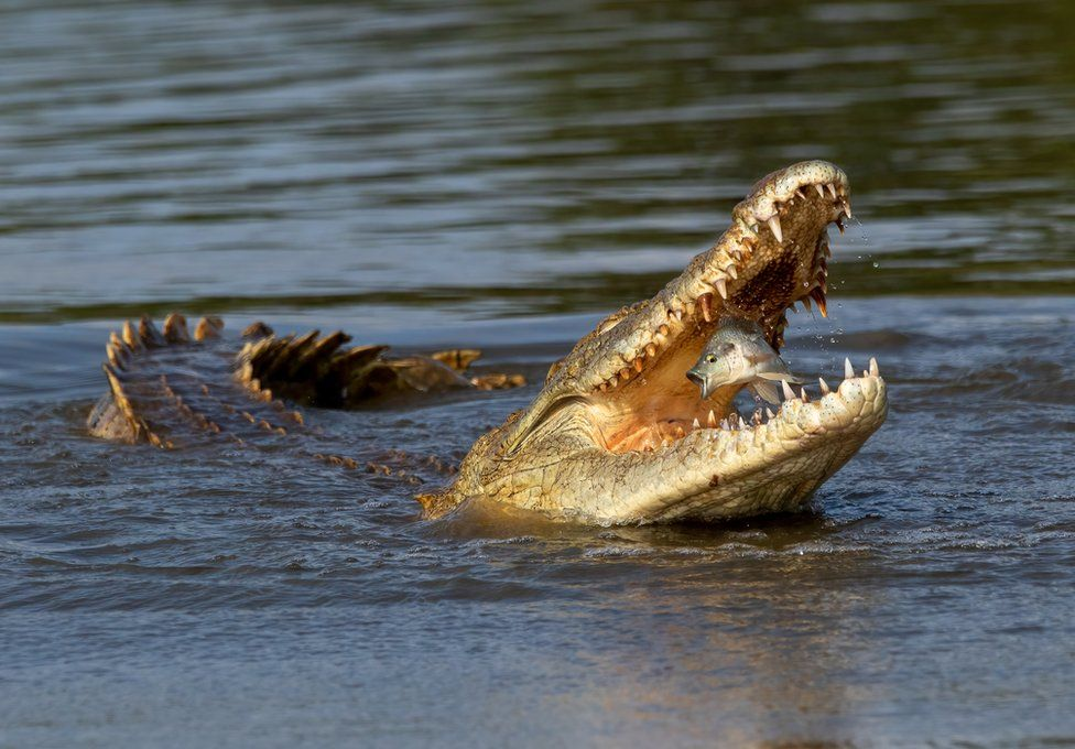 A crocodile opens its mouth to bite a fish in the air