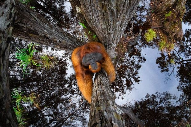 An image of an orangutan climbing a tree with the sky reflected in water below