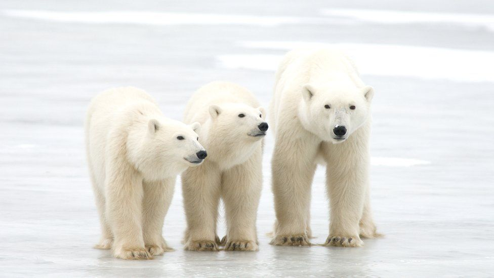 Climate Change Polar Bears Could Be Lost By 2100 Bbc News