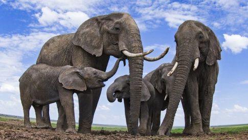 African elephants (c) SPL
