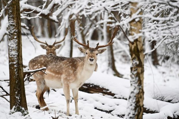 Deer graze in the snow, in Sevenoaks, Kent, 8 February 2021