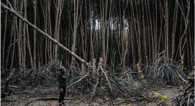 A person stands next to a mangrove tree that has been cut by local people in Indonesia