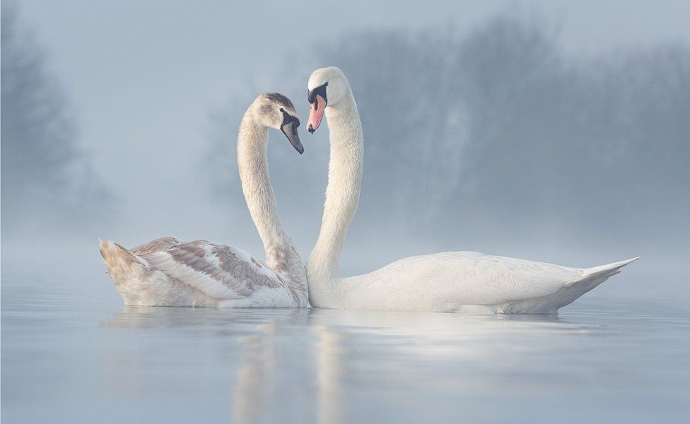 Two swans press close to each other on a misty lake