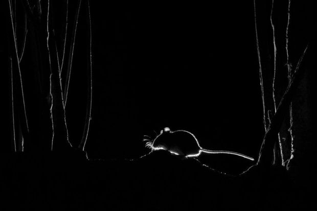 A silhouette of a little mouse at night