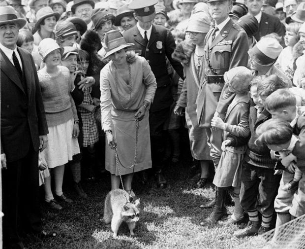 First Lady Grace Coolidge walks her pet raccoon on a leash with spectators looking on