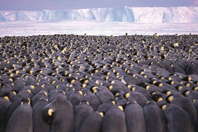 A large huddle of hundreds of penguins