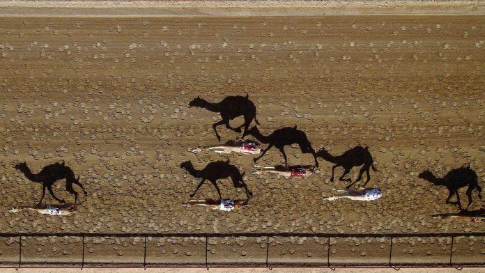 Las carreras de camellos, Dubai, Emiratos Árabes Unidos