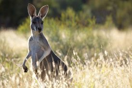 kangeroo, just cause its cute :)