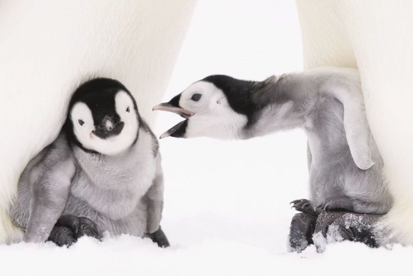 One baby penguin reaches out to another as they huddle at the feet of their parent