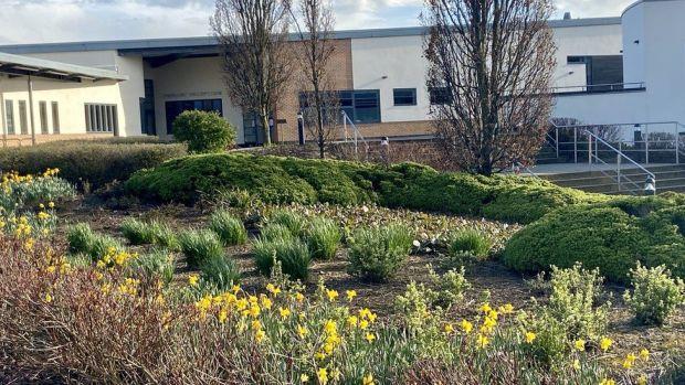Daffodils at Caroline Chisholm School