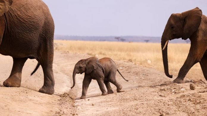 An elephant calf crosses a road in the Amboseli National Park, Kenya - Tuesday 10 August 2021