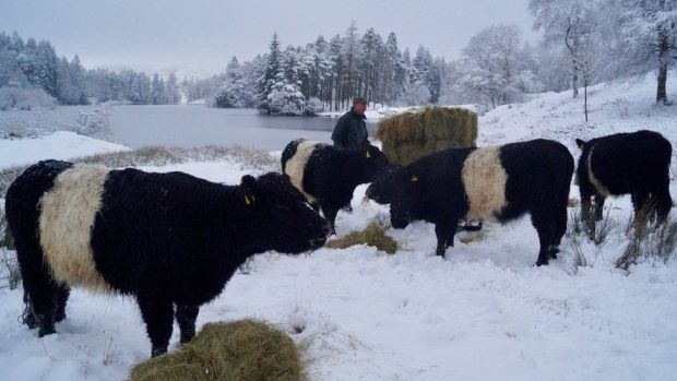 Jon Watson with cows in snow