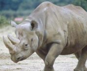Stop saying rhinos are extinct, the last subspecies died away