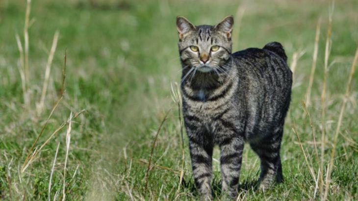 Mengapa kucing Manx di Inggris tak punya ekor? - BBC Indonesia