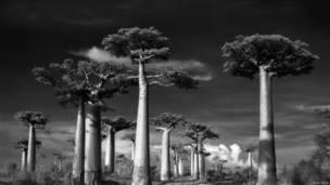 Baobabs. Beth Moon.