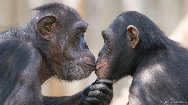 Chimpancés besándose