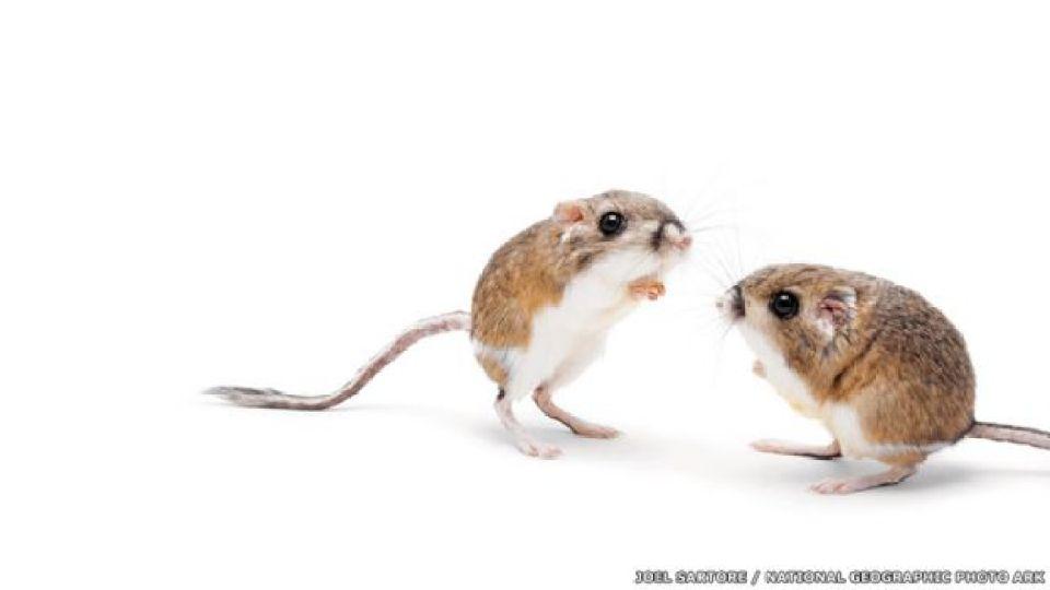 Rata canguro de Merriam - FORT WORTH ZOO, TEXAS Joel Sartore / National Geographic