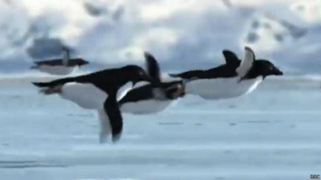 10 вещей, о которых мы не знали неделю назад Летающие пингвины