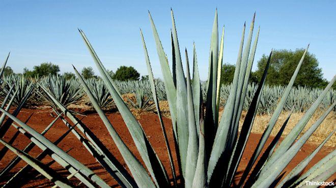 Planta de agave