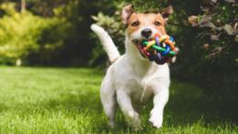 Perro corriendo con una pelota