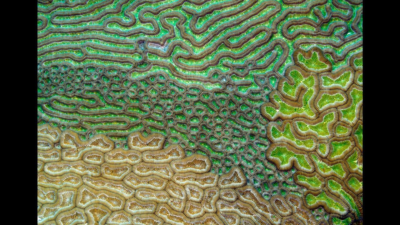 Caribbean brain coral (Credit: Evan D'Alessandro)