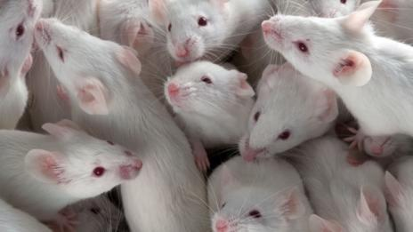 Mice on restricted diets live longer (SPL)