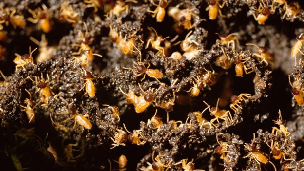 Termites build their mounds out of mud (Credit: H Lansdown/Alamy Stock Photo)