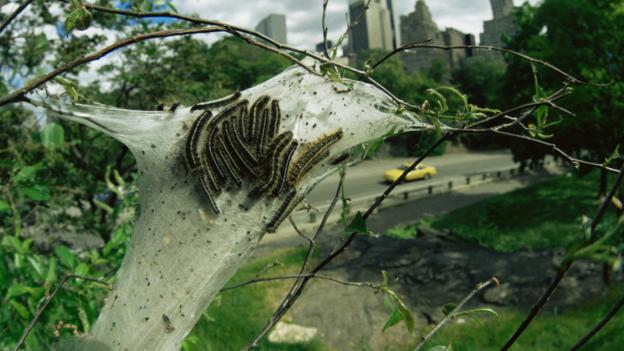 Eastern tent caterpillar moths in their nest (Credit: Rupert Barrington/naturepl.com)