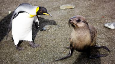 A young fur seal meets a king penguin (credit: Thebeccamurray / CC by 2.0)
