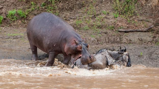 beware a laughing or yawning hippo