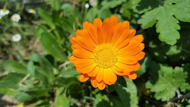 Ringelblume Calendula Vorschau