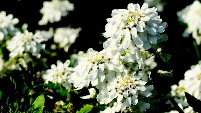 Bittere Schleifenblume Blüten