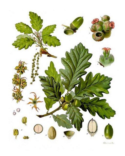 Trauben-Eiche (Quercus petraea), Illustration