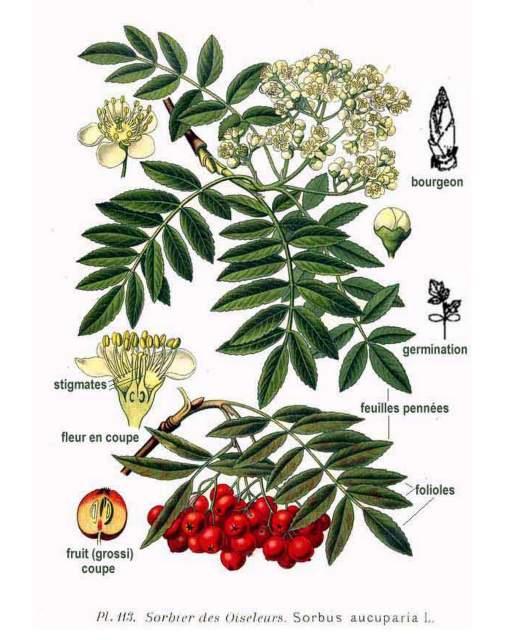 Eberesche-Sorbus aucuparia-Atlas des plantes de France-1891