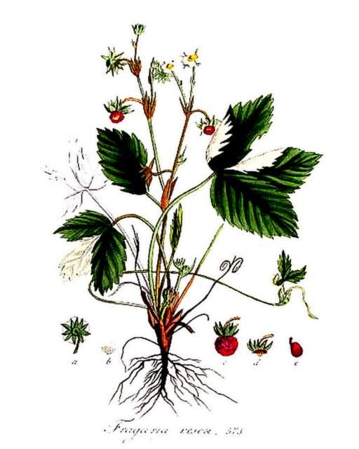 Illustration aus Flora Batava, Volume 8 Jan Kops